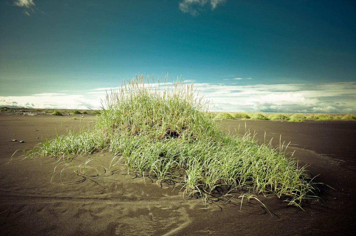 Ein Busch auf schwarzem Sand