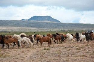 Eine Herde Island Pferde werden über die Weide getrieben