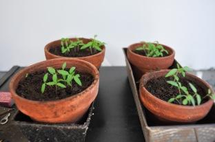 Tomatenpflanzen indoor gepflanzt