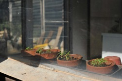 Tomatenpflanzen im Wachstum