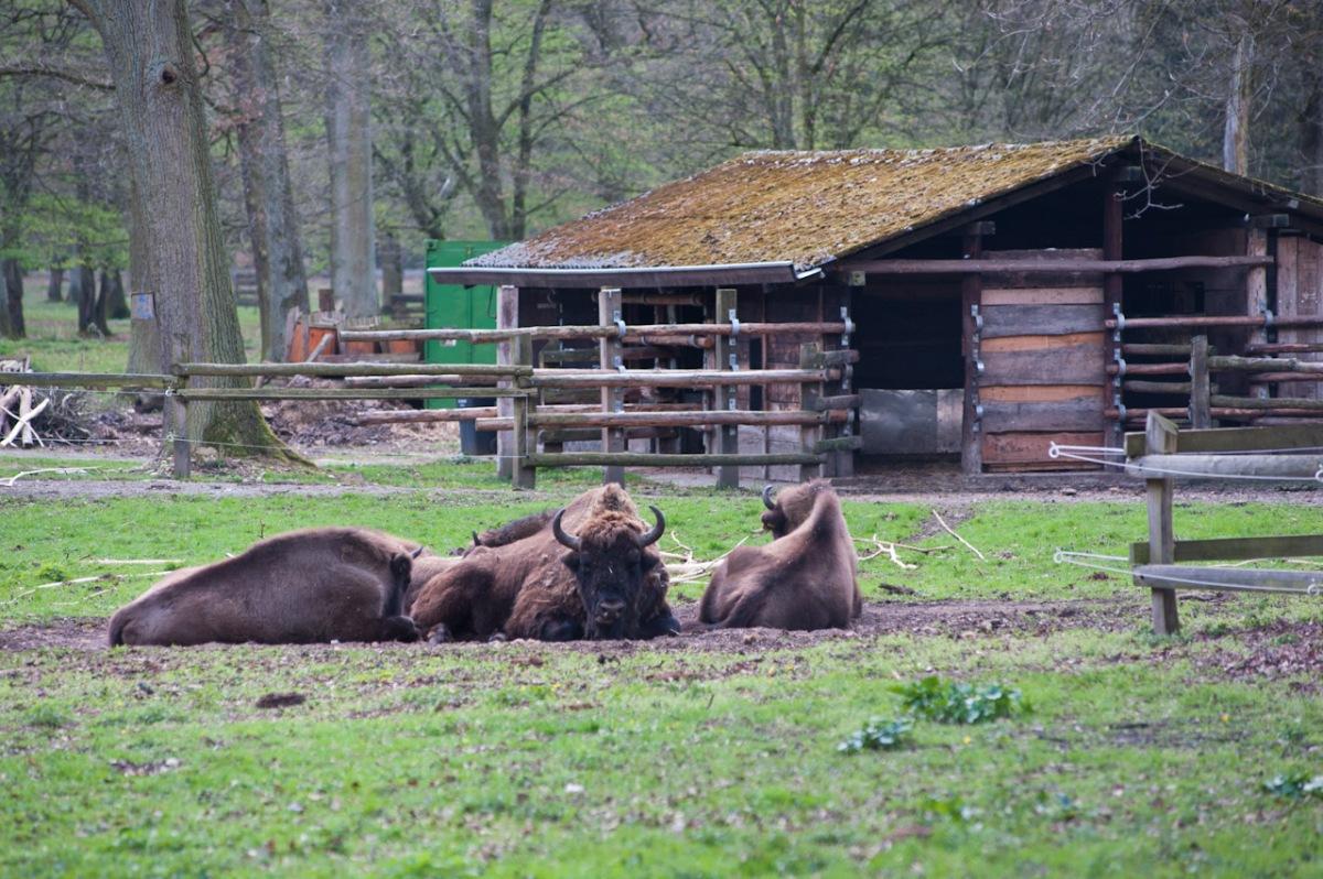 Ausgesprochen gemütlich sehen es diese Bisons