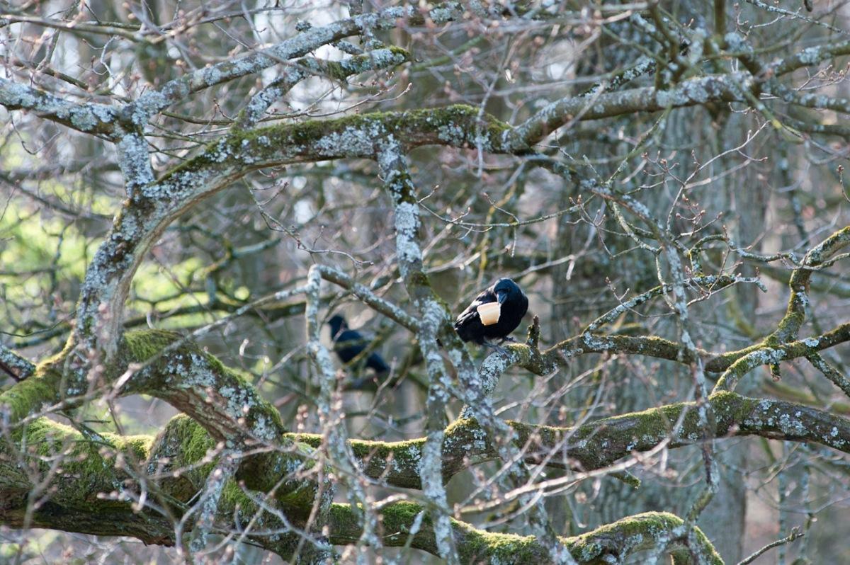 Ein Rabe schnappte sich ein Brotstück und flog damit auf den nächsten Baum.