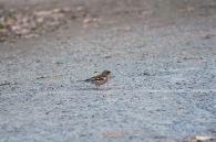 Kleiner Vogel auf Nahrungssuche im Wald.