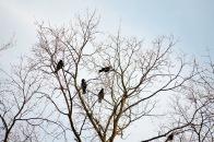Eine Gruppe Raben auf einem Baum in Köln