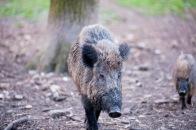 Eine Wildschwein Familie auf Erkundung im Wald
