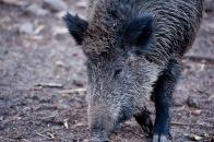 Die Wildschwein Mutter hatte uns im Blick.