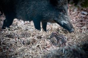 Sehr beschützt werden die Wildschwein Babies von der Mutter