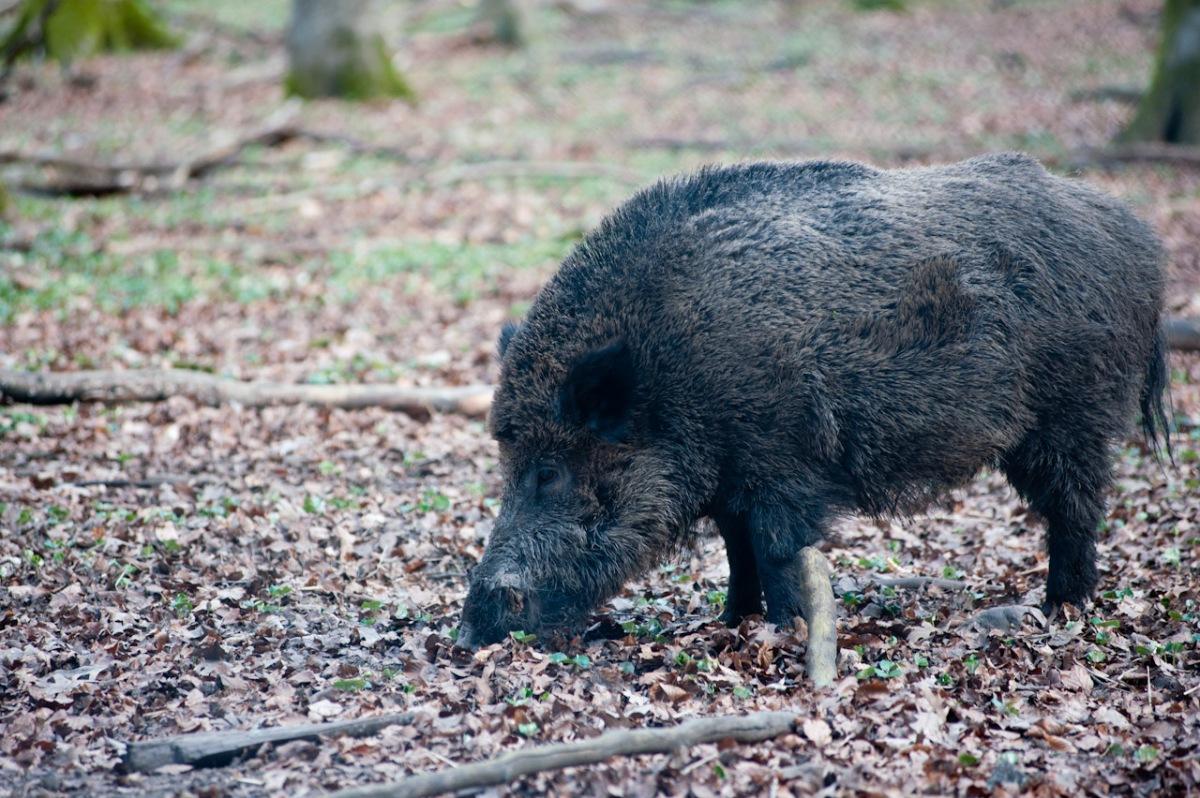 Dieses Exemplar beschützt die Wildschweinfamilie.