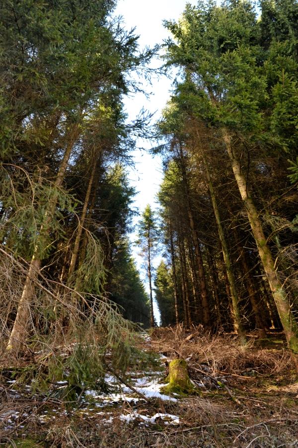 Hin und wieder müssen die kranken Bäume weichen.