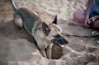 Belgischer Schäferhund kühlt sich in einem Loch ab