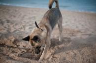 Iggy buddelt sich ein Loch im Sand
