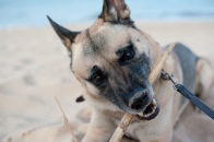 Belgischer Schäferhund beweist seine Beisskraft an einem trockenen Bambusstock am Strand