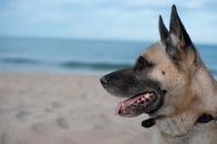 Seitenprofil eines belgischen Schäferhundes, auch Malinois genannt.
