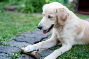 Golden Retriever Mischling mit Knochen im Garten